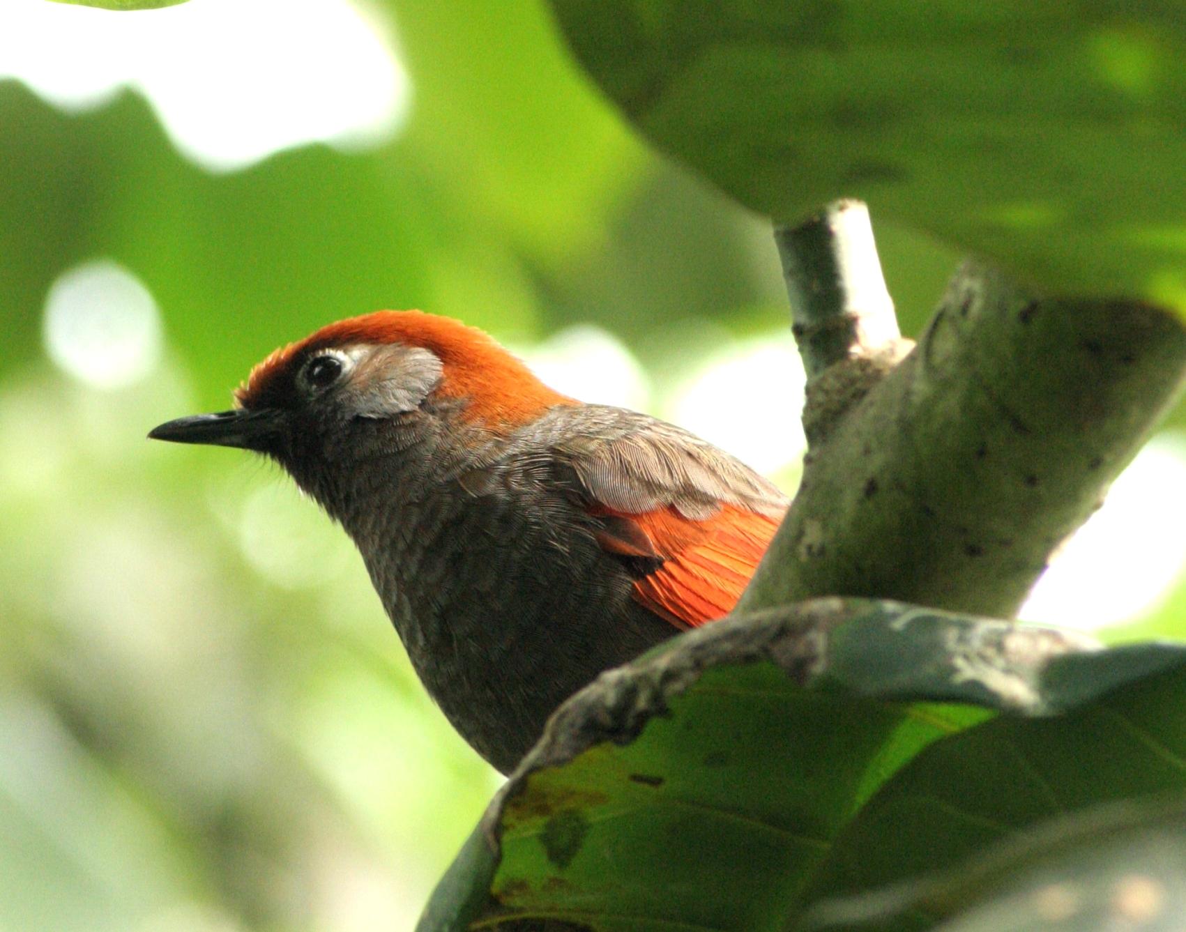 Les oiseaux qui nous enchantent par leurs plumages color s for Oiseau vert et rouge