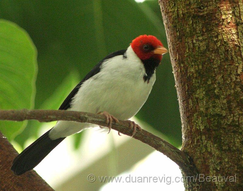 Index albums photos beauval oiseau noir et rouge for Oiseau orange et noir