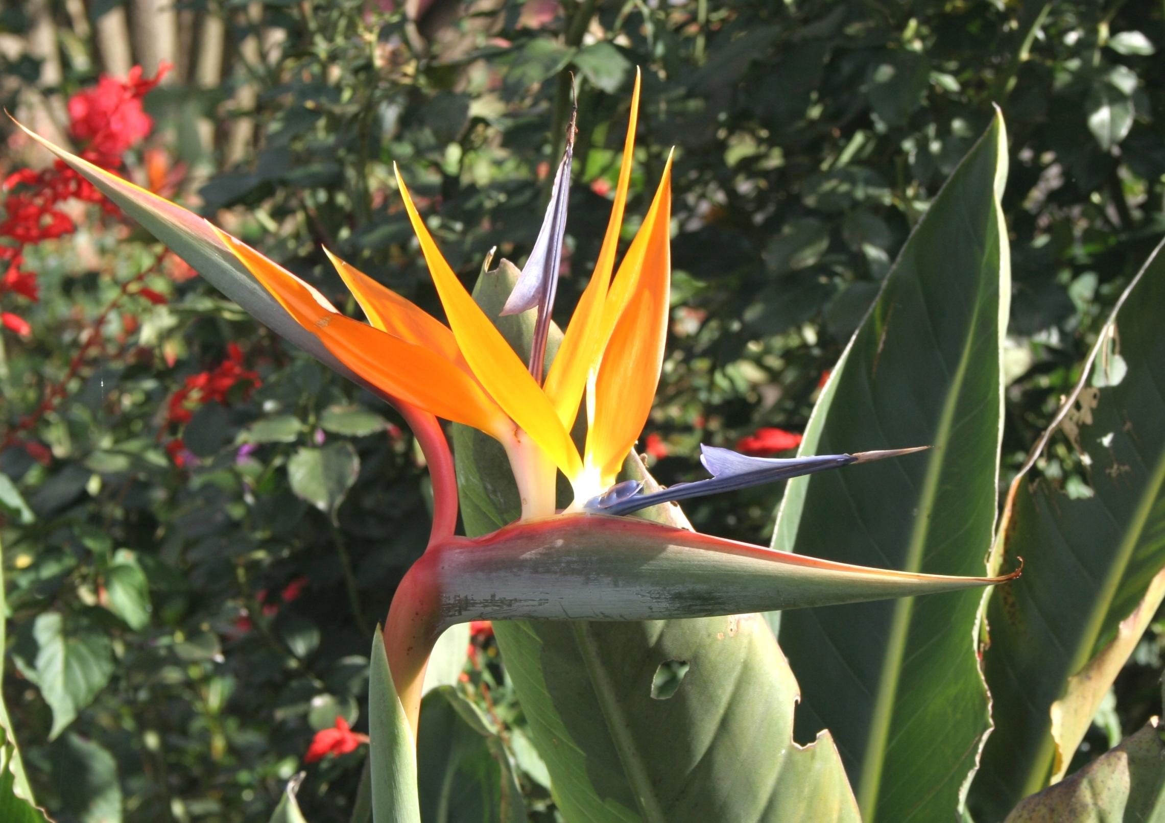 index albums photos costa rica 2008 braulio carrillo oiseau du paradis strelitzia reginae n 39 est. Black Bedroom Furniture Sets. Home Design Ideas