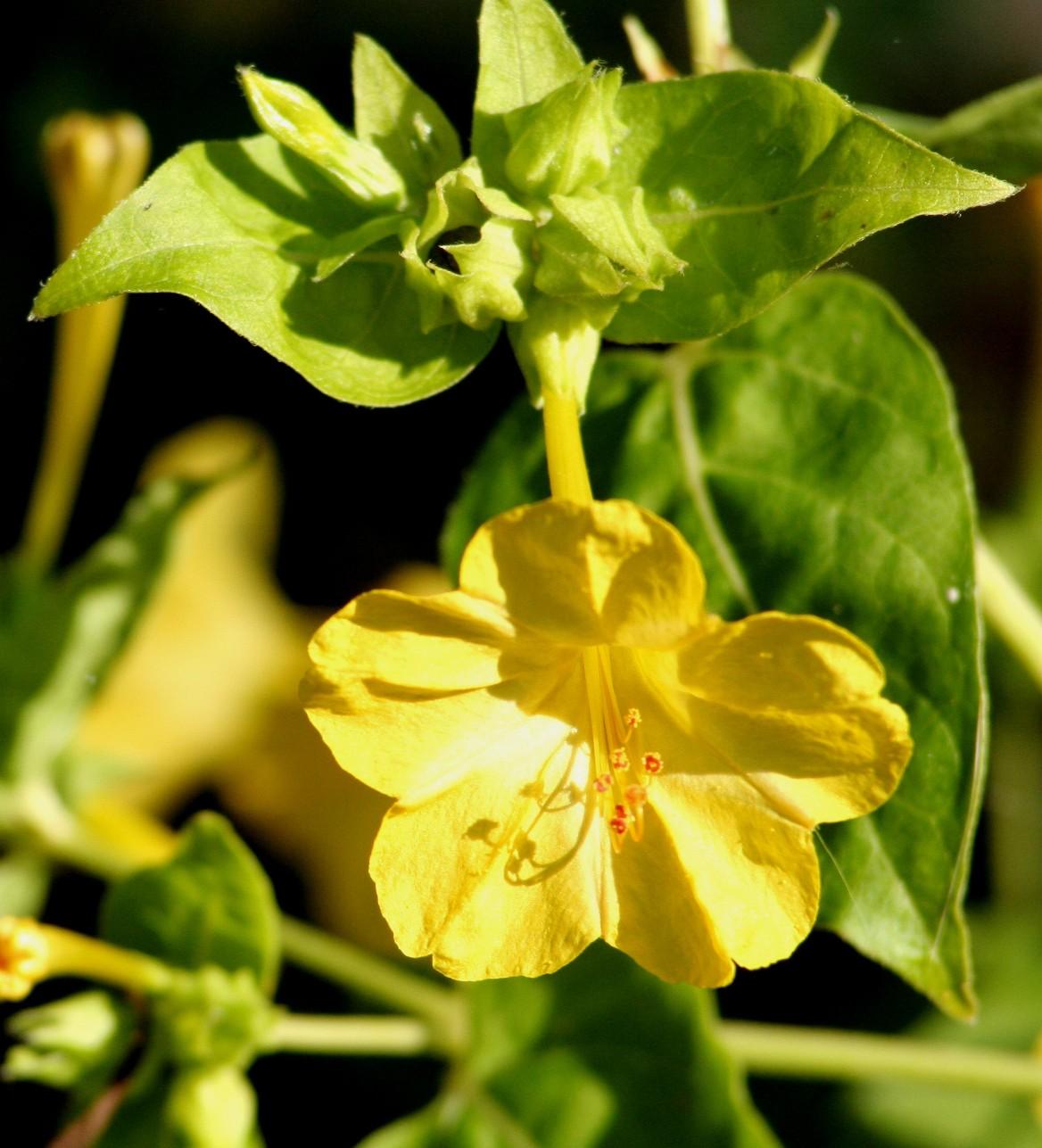 fleurs annuelles fleurs des champs belle de nuit mirabilis jalapa. Black Bedroom Furniture Sets. Home Design Ideas