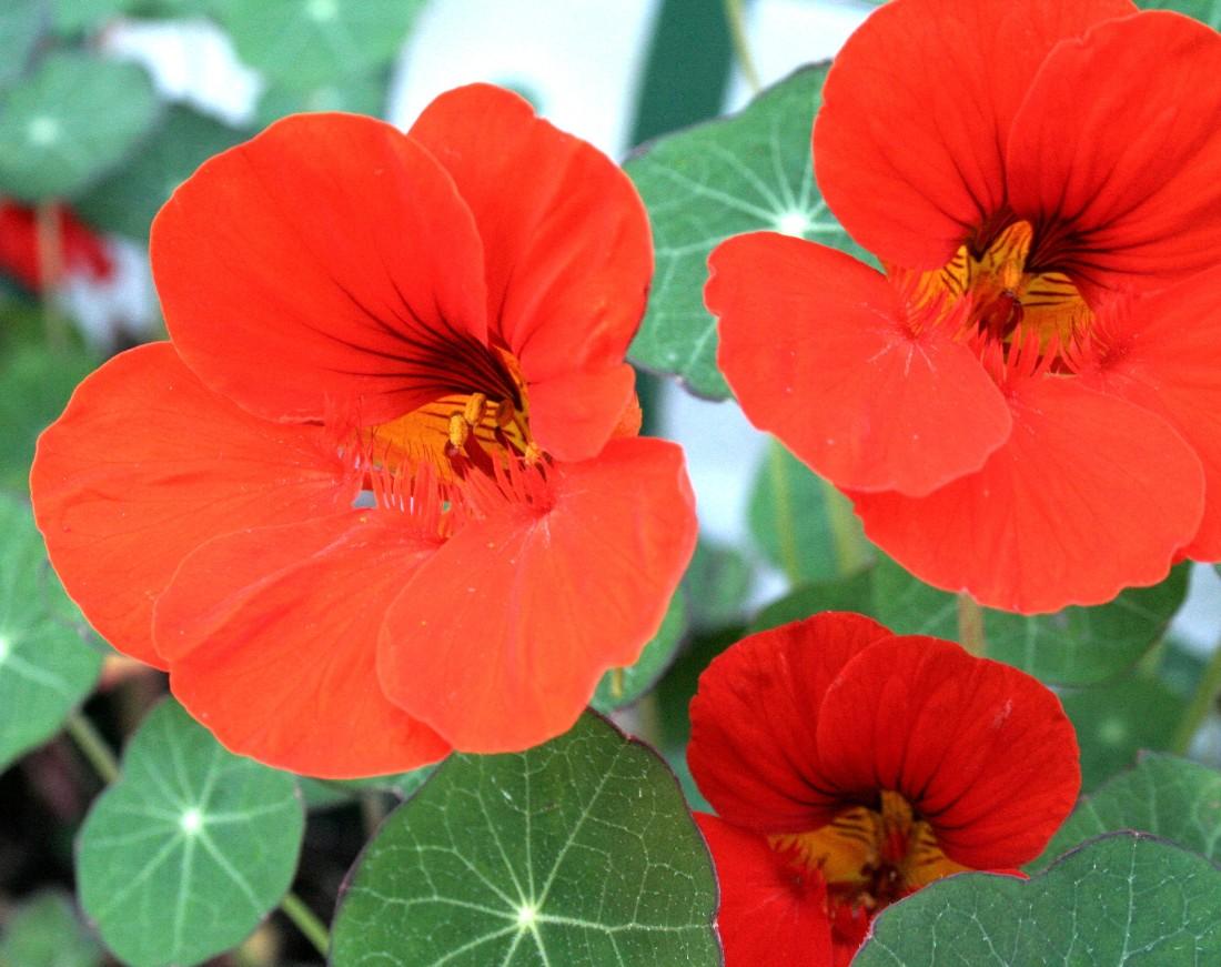 Fleurs/Annuelles Fleur...