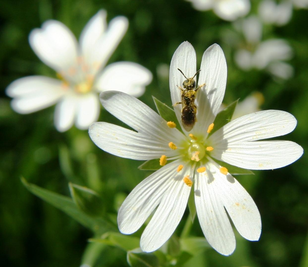 fleurs annuelles fleurs des champs fleur des champs et insecte. Black Bedroom Furniture Sets. Home Design Ideas