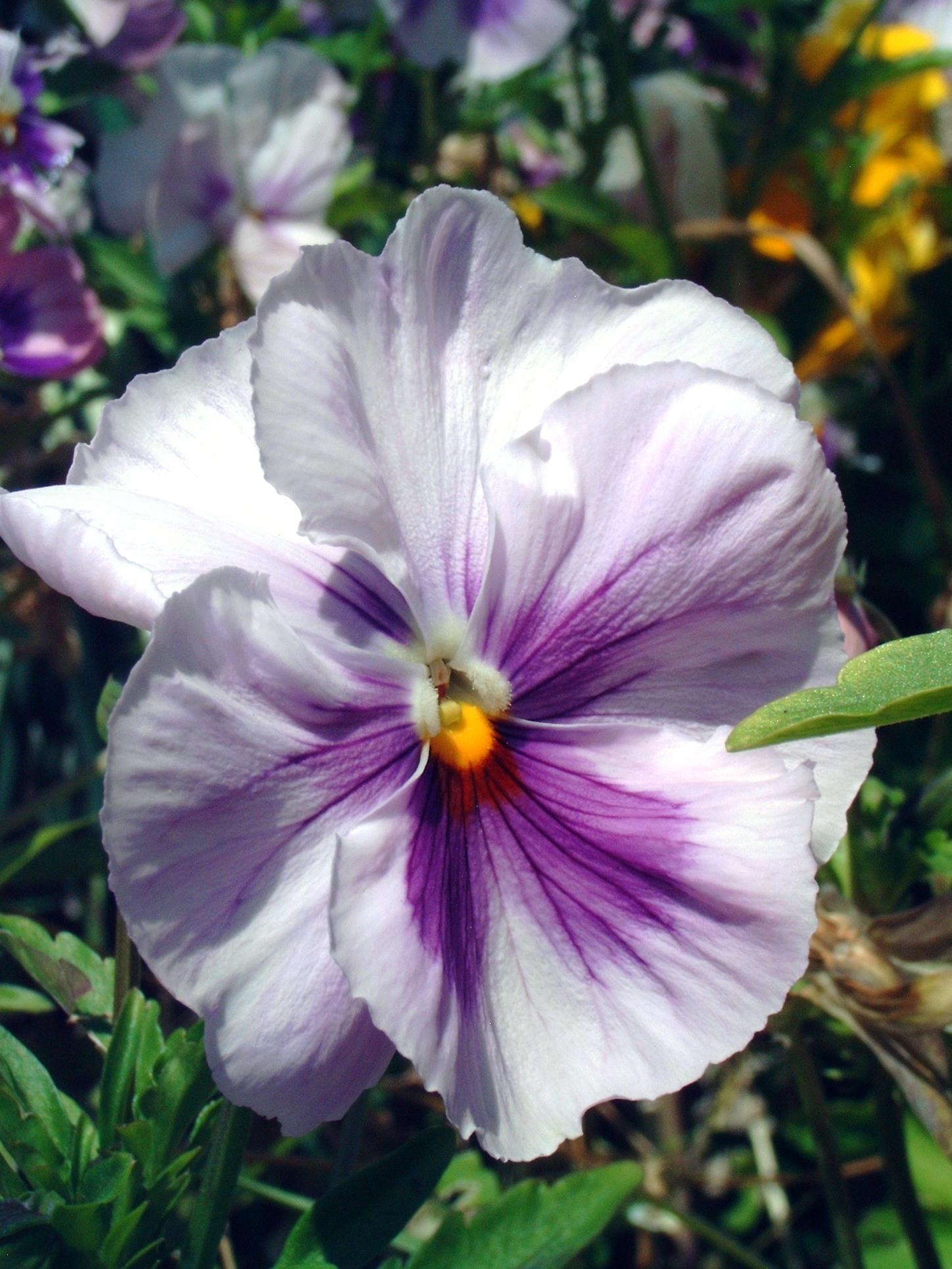 Fleurs annuelles fleurs des champs pensee des jardins 3 for Fleurs des jardins