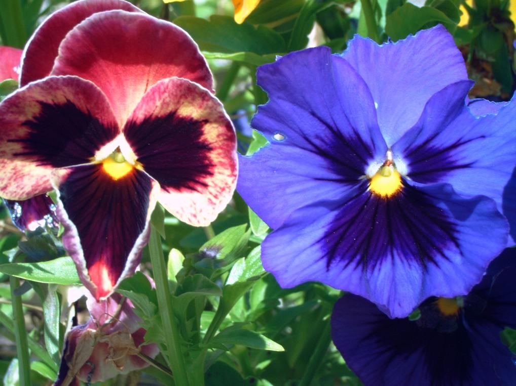 Fleurs annuelles fleurs des champs pensee des jardins for Fleurs des jardins