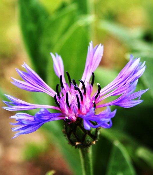 fleurs annuelles fleurs des champs bleuet centaurea centaureus cyanus centauree 3. Black Bedroom Furniture Sets. Home Design Ideas