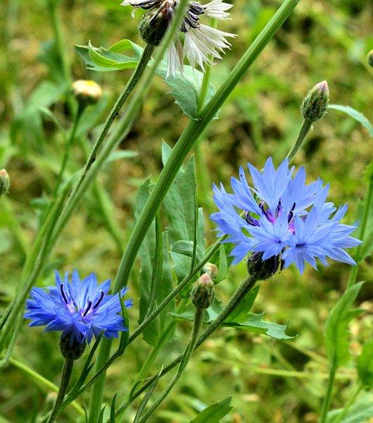 fleurs annuelles fleurs des champs bleuet. Black Bedroom Furniture Sets. Home Design Ideas