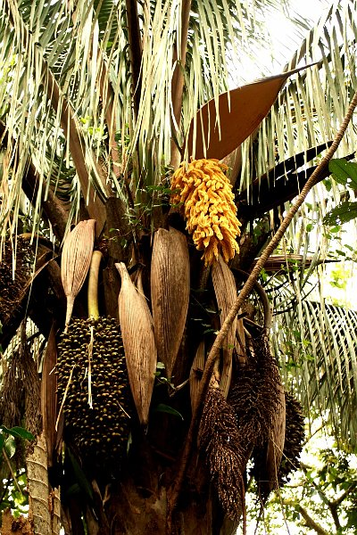 fleurs arbres arecaceae fleur palmier. Black Bedroom Furniture Sets. Home Design Ideas