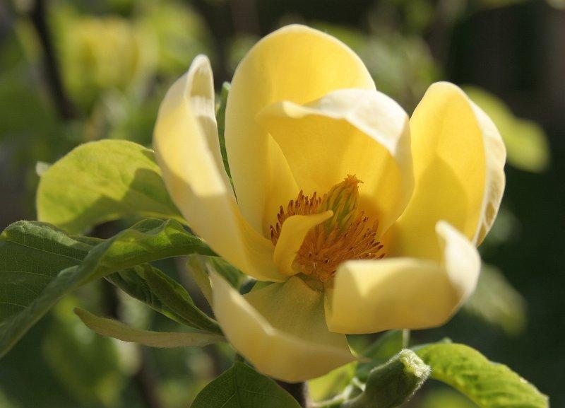 fleurs arbustes magnolia yellow river 4. Black Bedroom Furniture Sets. Home Design Ideas