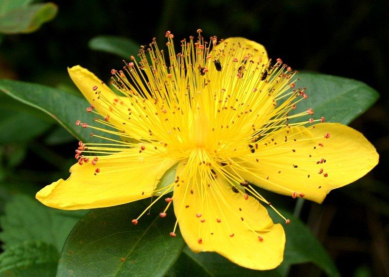 fleurs arbustes millepertuis hypericum x inodorum 5. Black Bedroom Furniture Sets. Home Design Ideas