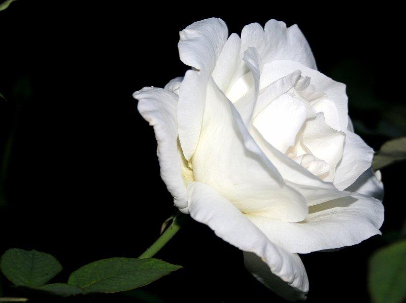 fleurs arbustes rose blanche rosa. Black Bedroom Furniture Sets. Home Design Ideas