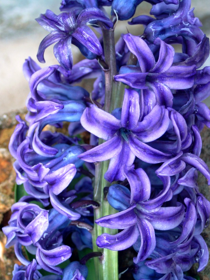 http://www.duanrevig.com/Fleurs/Bulbes/Jacynthe%20liliaceae%20Hyacinthus%20orientalis.JPG