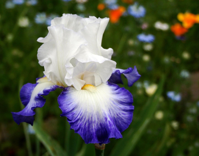 fleurs collection iris iris bleu blanc blanc. Black Bedroom Furniture Sets. Home Design Ideas