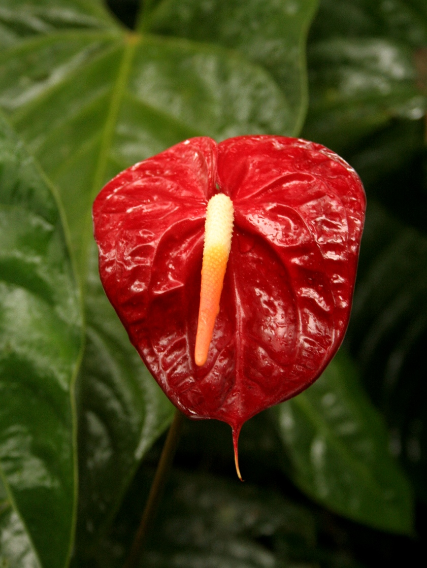 fleurs fleurs exotiques anthurium andraeanum rouge. Black Bedroom Furniture Sets. Home Design Ideas