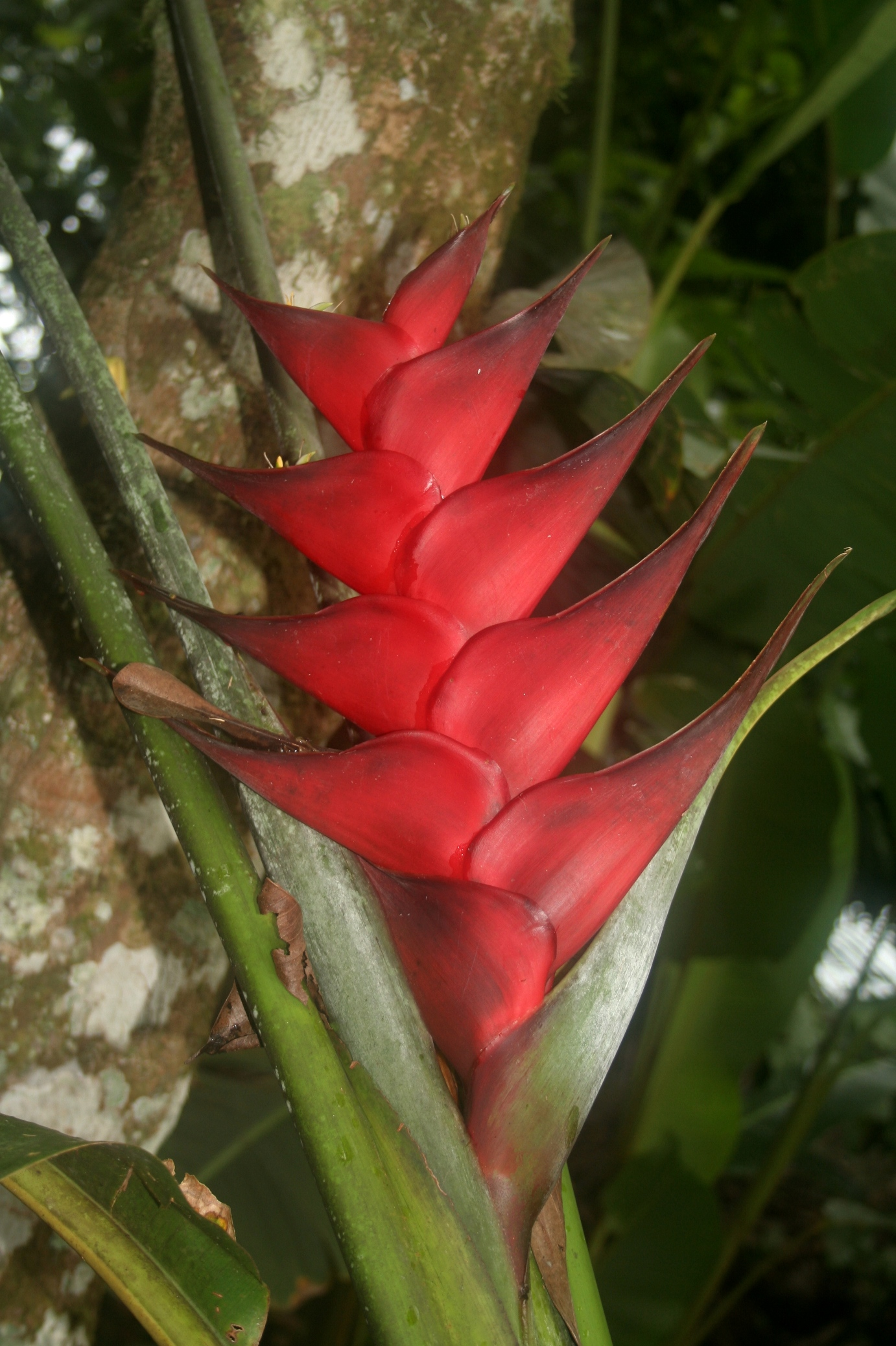 index albums photos fleurs fleurs exotiques heliconia rouge. Black Bedroom Furniture Sets. Home Design Ideas