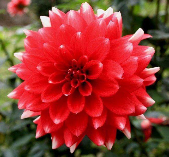 index albums photos fleurs tubercule dahlia rouge asteraceae compositae dahlia variabilis. Black Bedroom Furniture Sets. Home Design Ideas