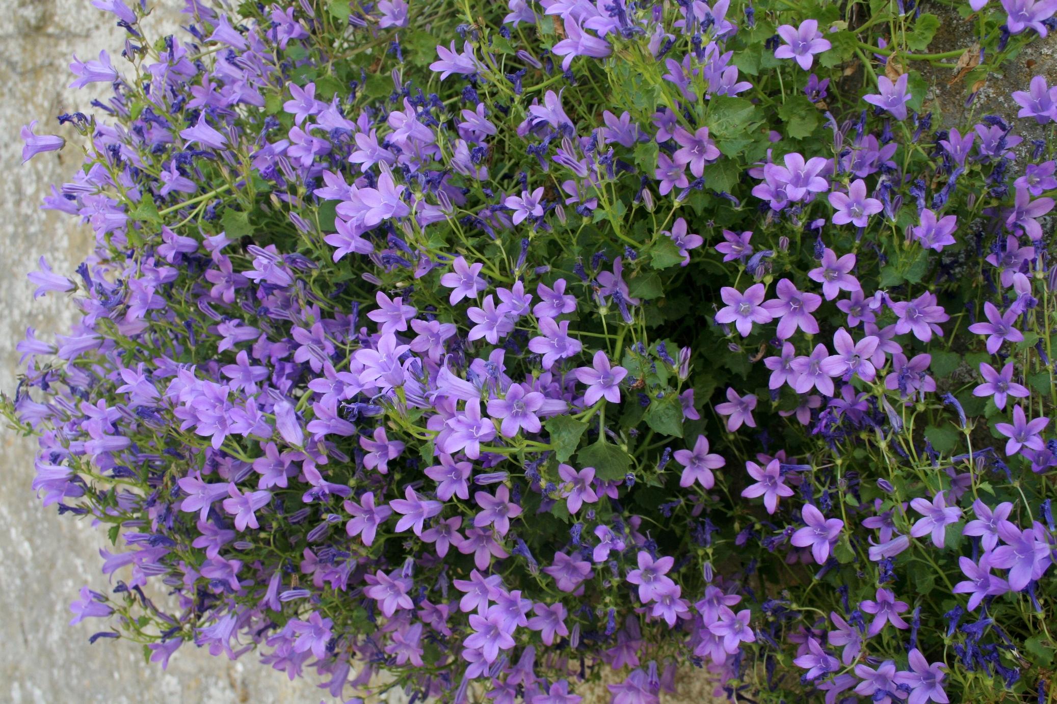 Fleurs vivaces campanule des murs - Fleurs vivaces longue floraison ...