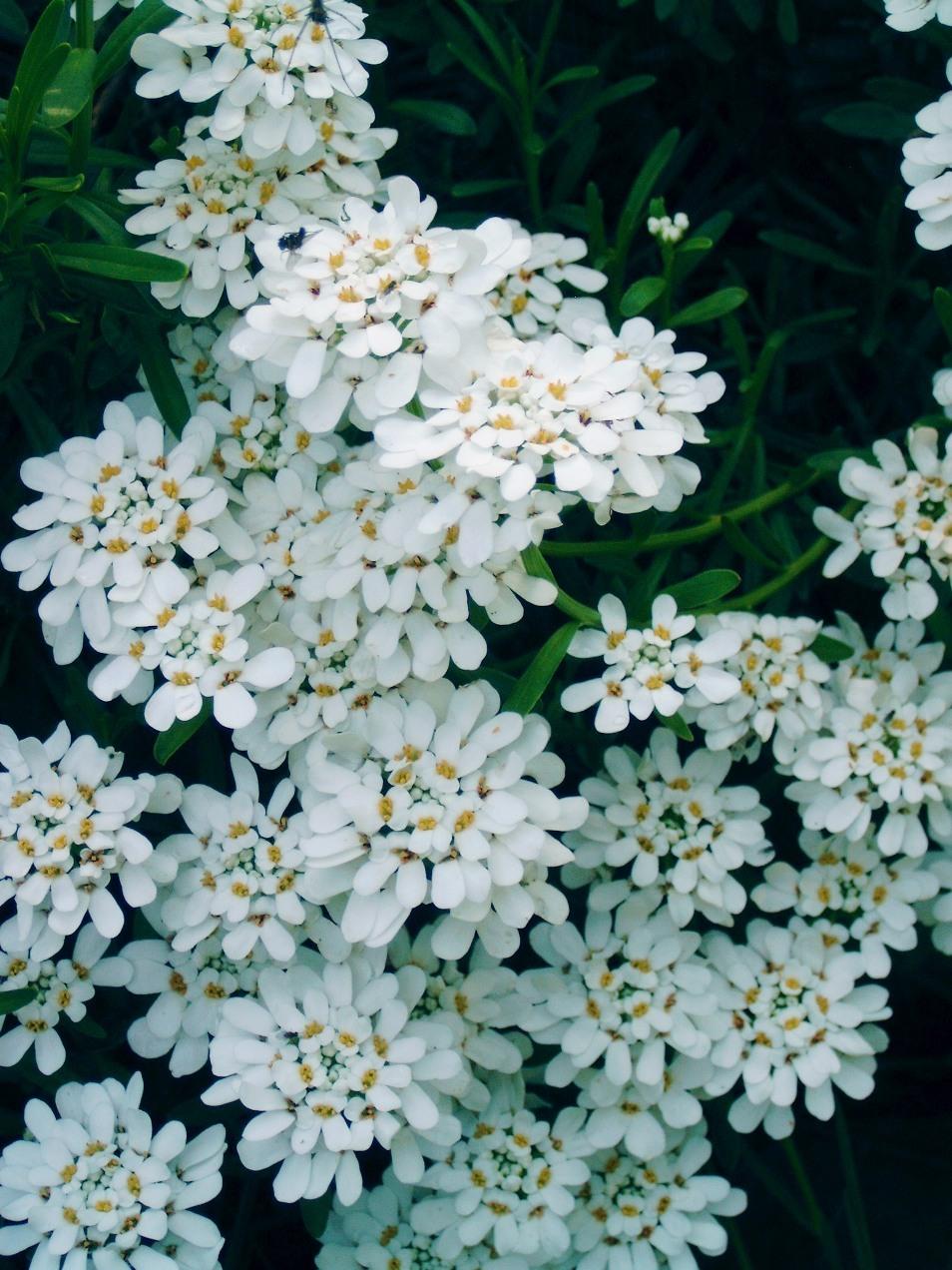 Index Albums Photos Fleurs Vivaces Corbeille D Argent Brassicaceae