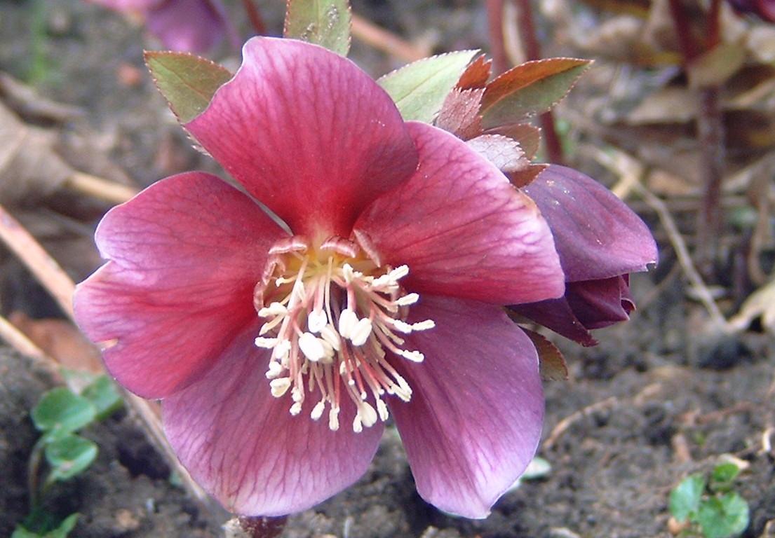 Hellebore rose de noel helleboraceae helleborus niger for Plants de fleurs vivaces