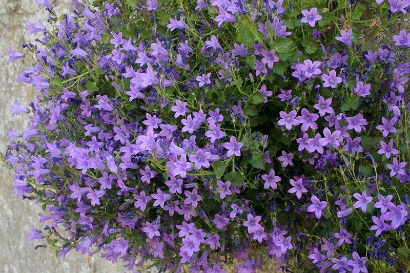 Index albums photos fleurs vivaces campanule des murs - Jardiniere mi ombre mi soleil ...