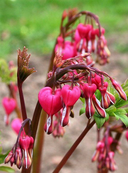 Index albums photos fleurs vivaces coeur de marie fumariaceae dicentra spectrabilis - Dicentra coeur de marie ...