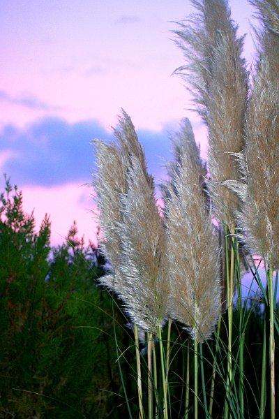 Index albums photos fleurs vivaces herbe de la pampa - Fleur de pampa ...