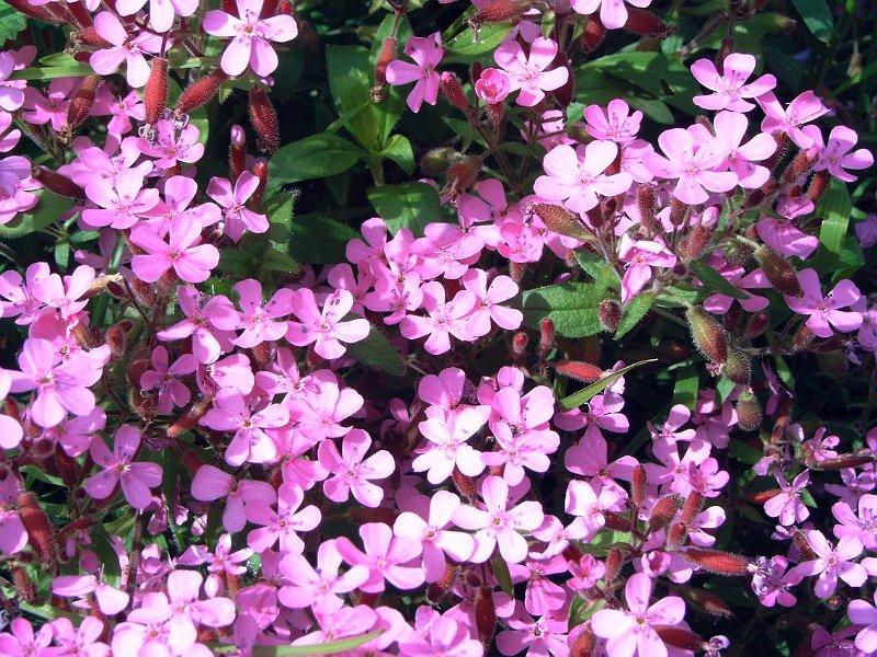 Index albums photos fleurs vivaces rose - Petites fleurs roses vivaces ...
