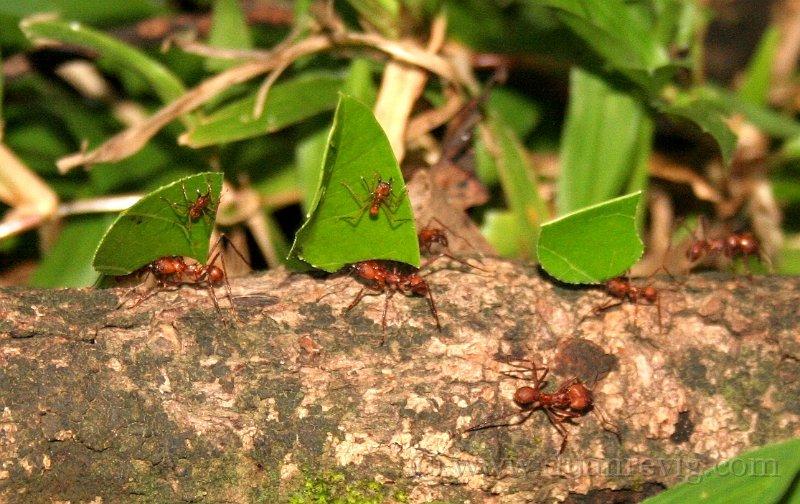 index albums photos insectes hymenopteres formicidae formica les fourmis porteuses de feuille et. Black Bedroom Furniture Sets. Home Design Ideas