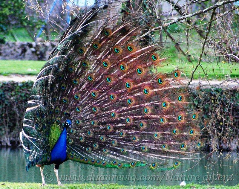 index albums photos photos de faune oiseaux pavo cristatus paon bleu roue. Black Bedroom Furniture Sets. Home Design Ideas
