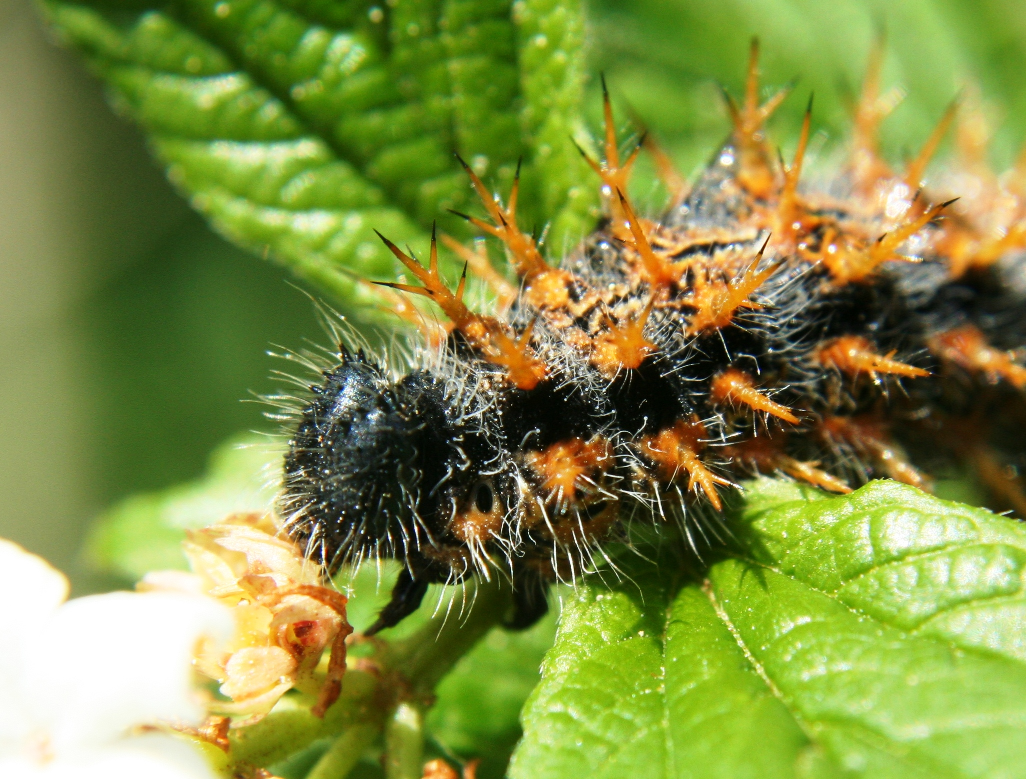 Index albums photos papillon chenille chenille noire orange 2 - Chenille verte et noire ...