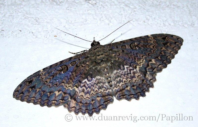 Index albums photos papillon heteroceres papillons de nuit saturnidae papillon de nuit a l 39 hotel - Signification papillon de nuit ...