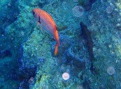 Index albums photos polynesie lagon poissons et corails for Big eye squirrel fish