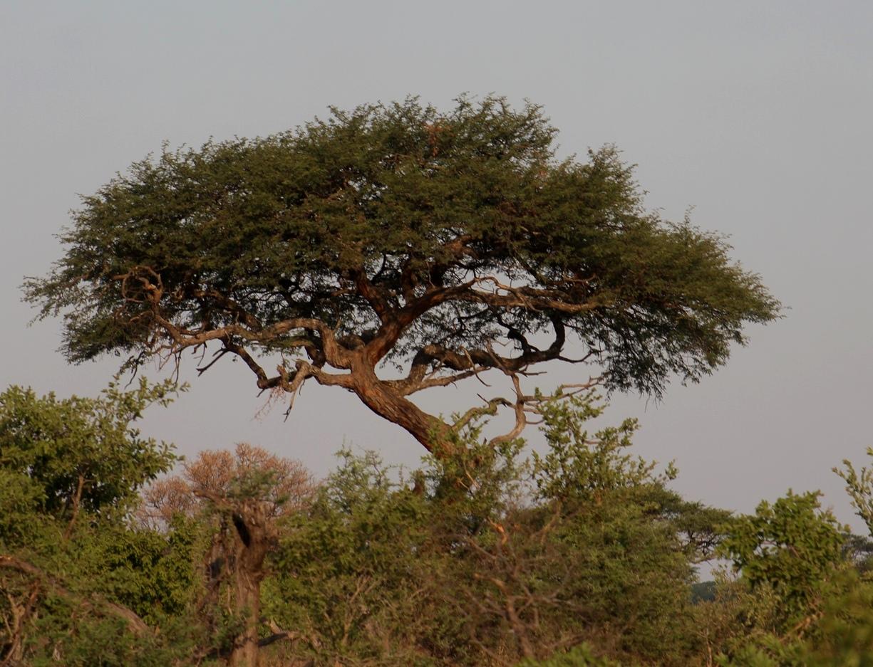 Index albums photos zimbabwe zambie afrique du sud hwange national park arbre africain - Arbre africain en 7 lettres ...